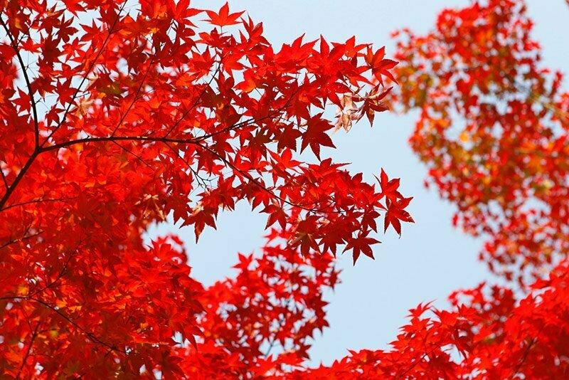 feuilles rouges d'automne au Japon