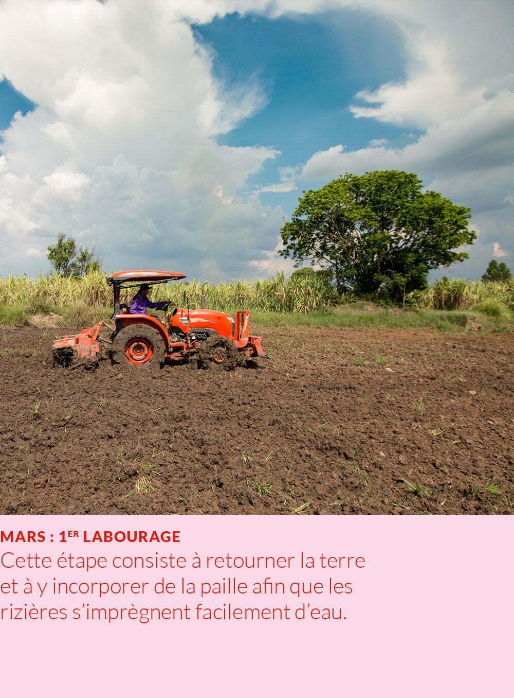 cycle annuel du riz : labourage