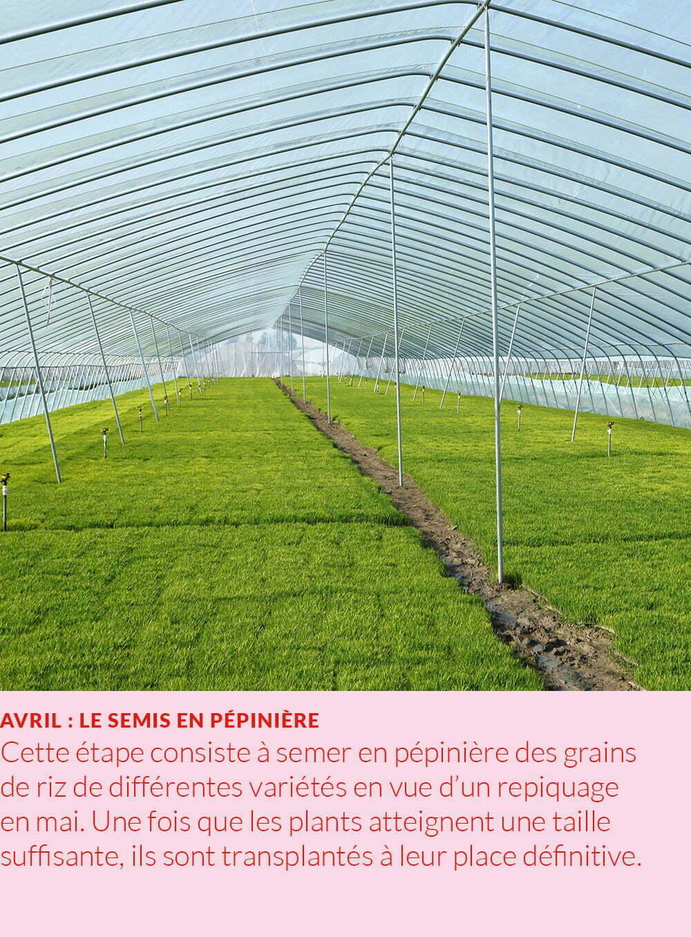 Cycle annuel du riz : semis en pépinière