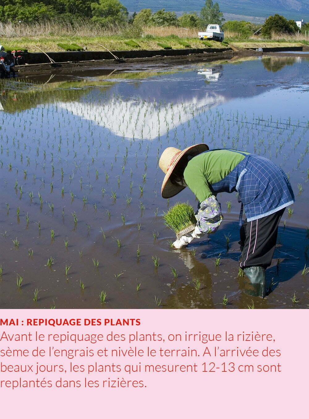 cycle annuel du riz : repiquage des plants
