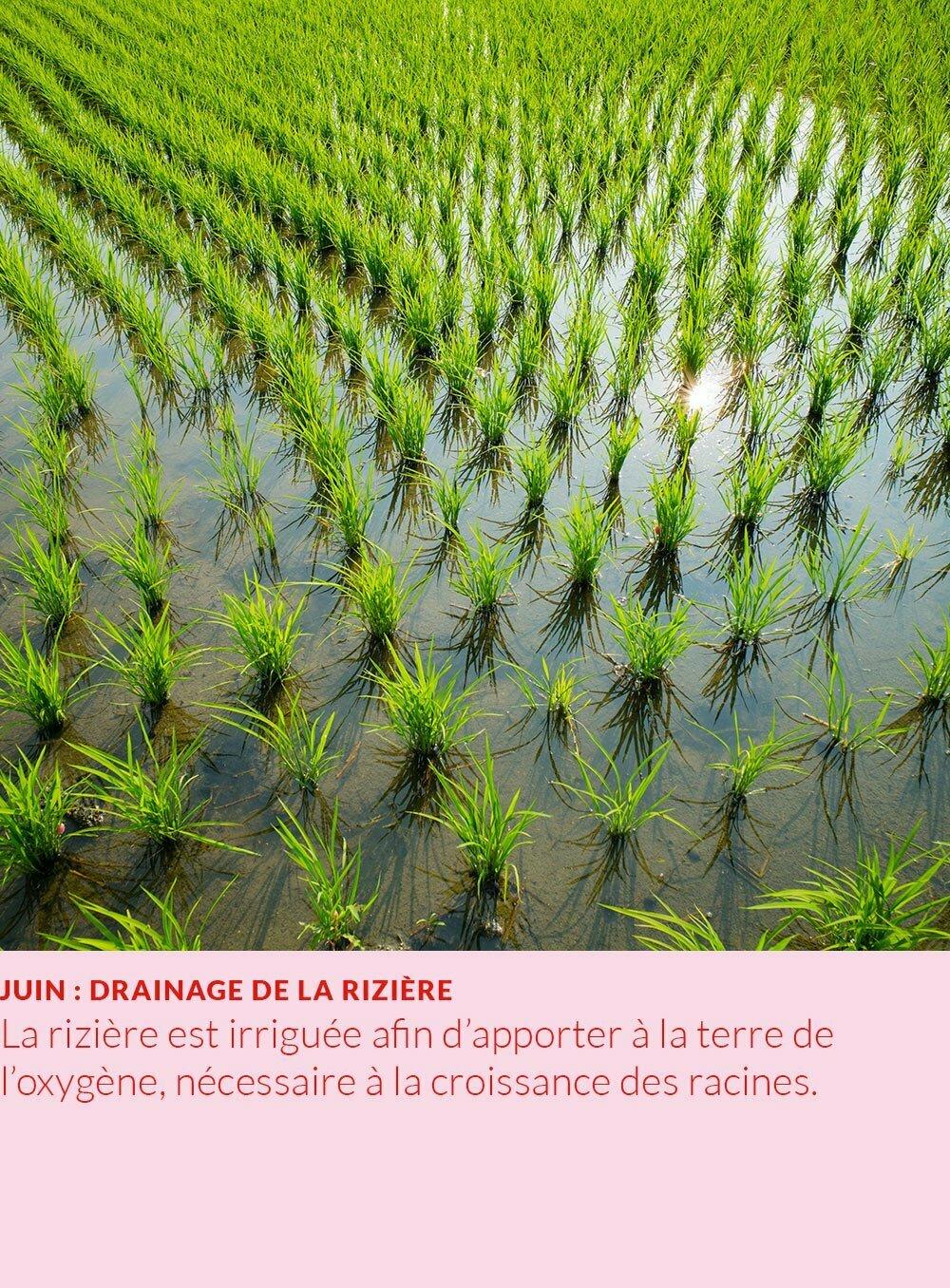 cycle annuel du riz : drainage de la rizière