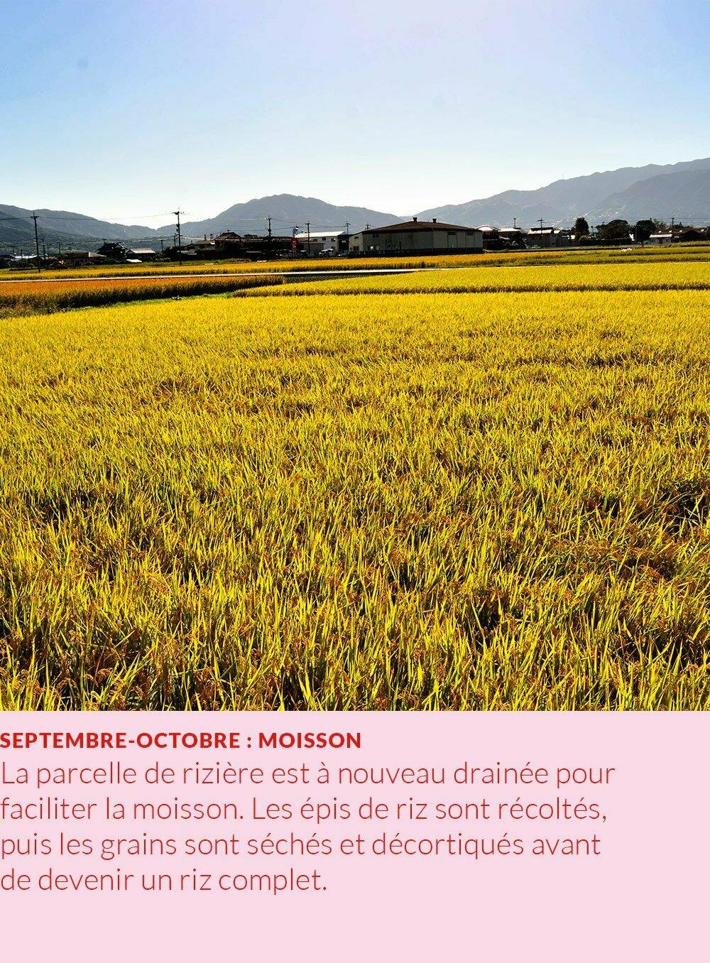 cycle annuel du riz : moisson