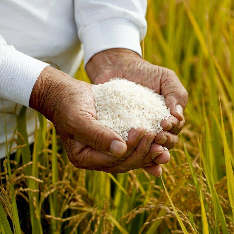 homme tenant du riz rond japonica akafuji dans les mains