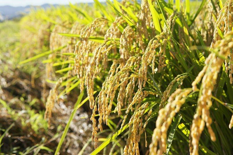 champ de riz rond japonica akafuji au Japon