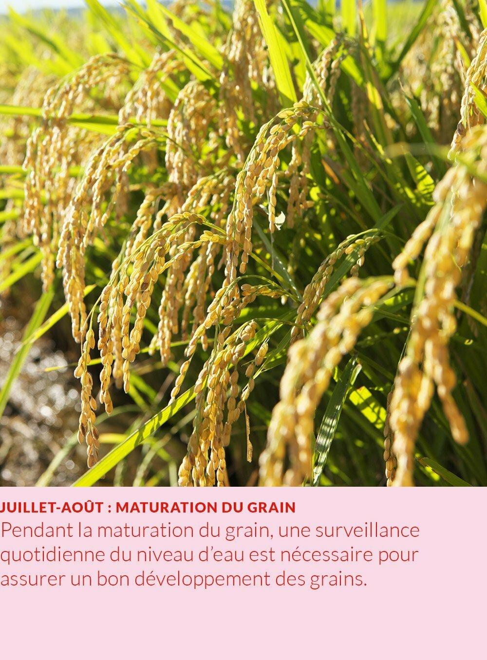 cycle annuel du riz : maturation du grain